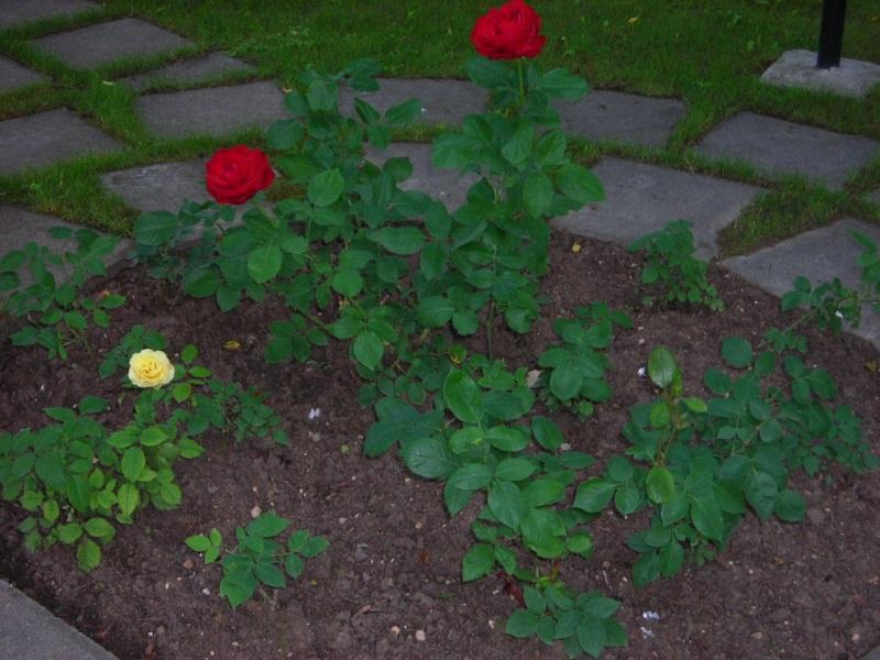 Обрезка роз на зиму: как все сделать без ущерба для растения