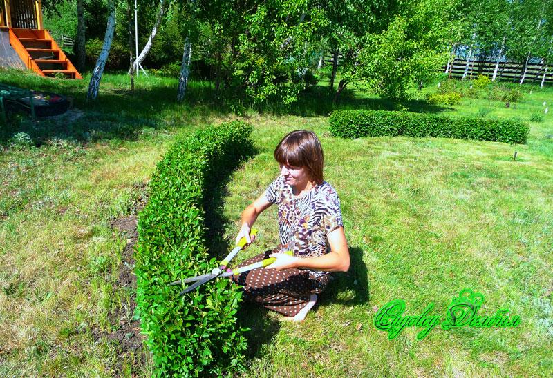 Живая изгородь из блестящего кизильника